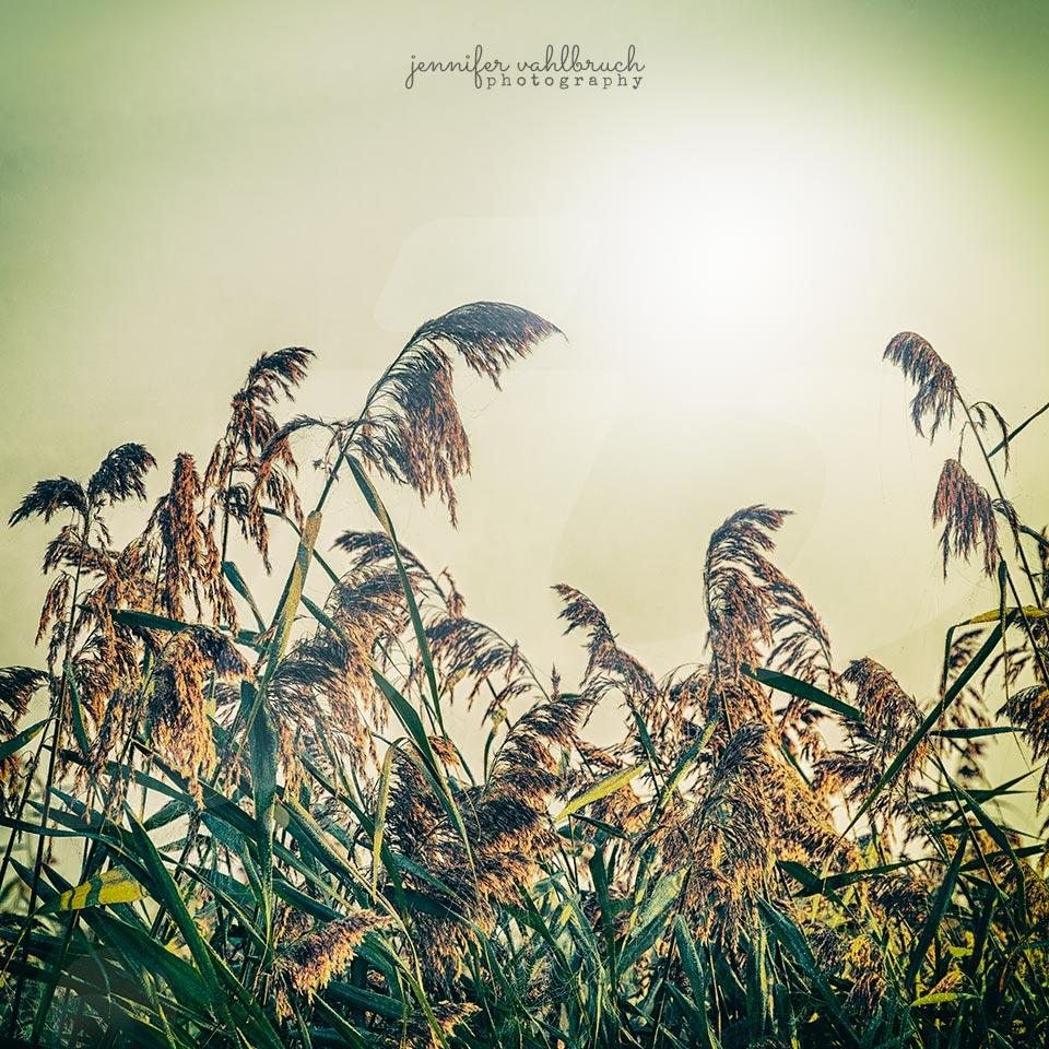 Reeds - Federsee, Germany