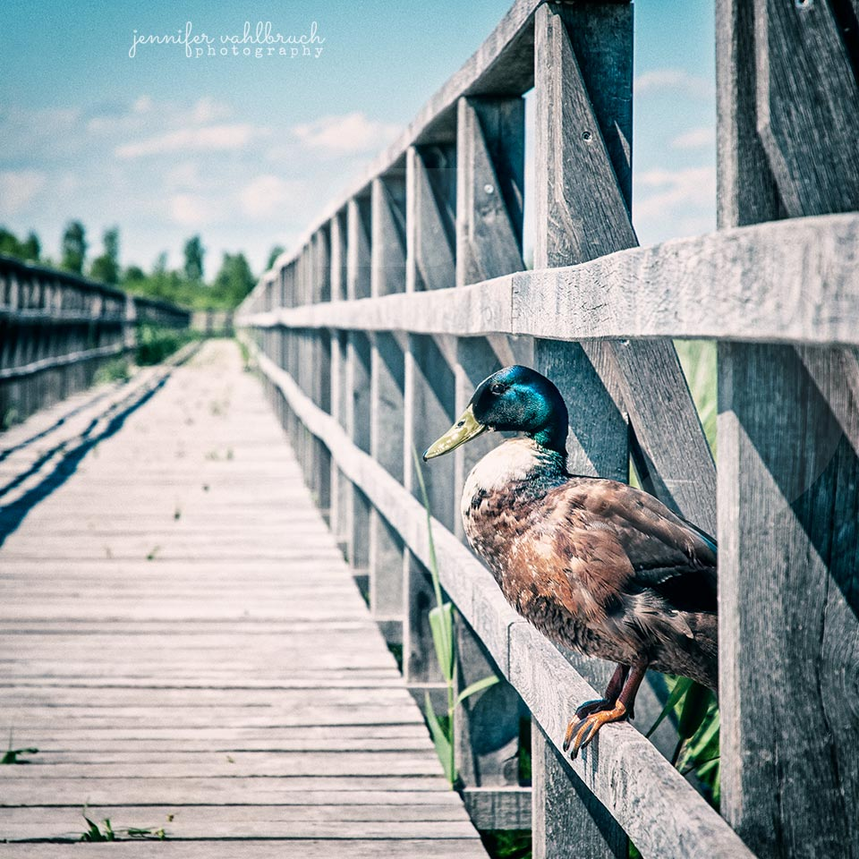 Proud Duck - Federsee, Germany